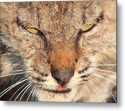 Animal Metal Print featuring the photograph Young Bobcat Portrait 01 by Wingsdomain Art and Photography