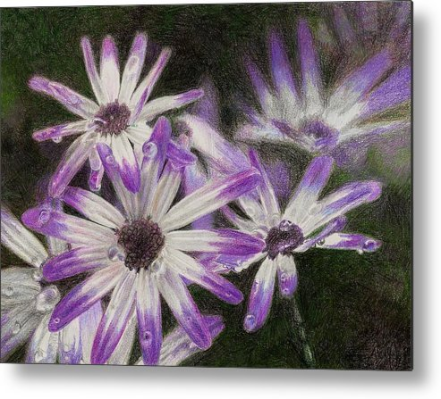 Flowers Metal Print featuring the drawing Senetti Pericallis by Steve Asbell