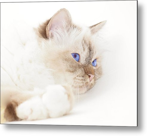 Felidae Metal Print featuring the photograph Sacred Cat Of Burma by Melanie Viola