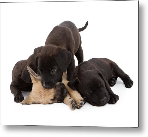 Dog Metal Print featuring the photograph Sibling Rivalry by Susan Schmitz