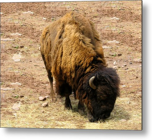 The American Buffalo Metal Print featuring the photograph The American Buffalo by Bill Cannon