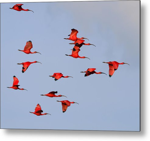 Scarlet Ibis Metal Print featuring the photograph Frankly Scarlet by Tony Beck