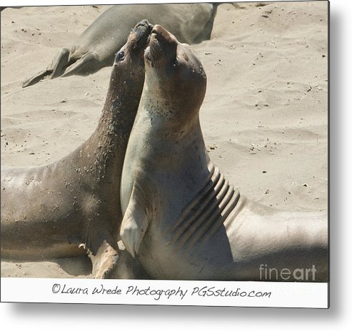 Sea Lions Metal Print featuring the photograph Sea Lion Love From The Book My Ocean Contact Laura Wrede To Purchase This Print by Artist and Photographer Laura Wrede