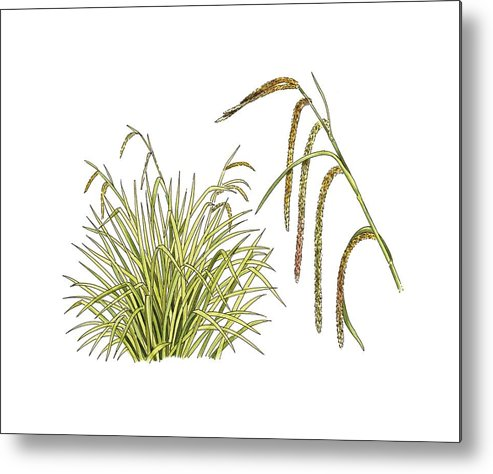 Cutout Metal Print featuring the photograph Pendulous Sedge (carex Pendula) by Science Photo Library