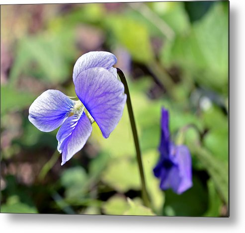 Flower Metal Print featuring the photograph The Violet by Susan Leggett