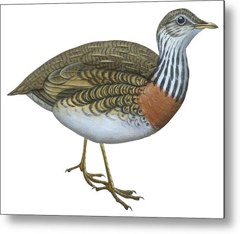 No People; Horizontal; Side View; Full Length; White Background; Standing; One Animal; Animal Themes; Nature; Wildlife; Beauty In Nature; Illustration And Painting; Plains Wanderer; Pedionomus Torquatus Metal Print featuring the drawing Plains Wanderer by Anonymous