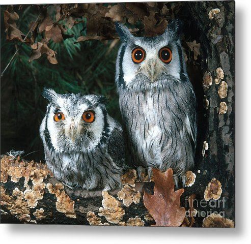 Animal Metal Print featuring the photograph White Faced Scops Owl by Hans Reinhard