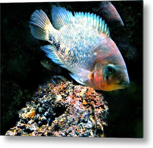 Colette Metal Print featuring the photograph Fish Living In Denmark by Colette V Hera Guggenheim
