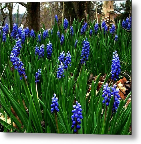 Floral Art Metal Print featuring the photograph Grape Hyacinths by Julie Dant