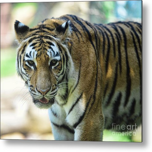 Tiger Metal Print featuring the photograph Tiger - Endangered - Wildlife Rescue by Paul Ward