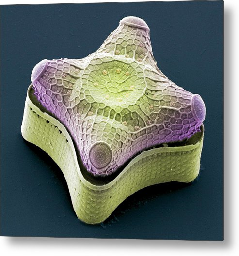Alga Metal Print featuring the photograph Diatom, Sem by Steve Gschmeissner