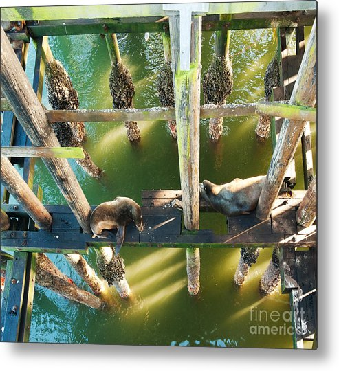 California Sealions Metal Print featuring the photograph California Sealions Under The Santa Cruz Pier by Artist and Photographer Laura Wrede