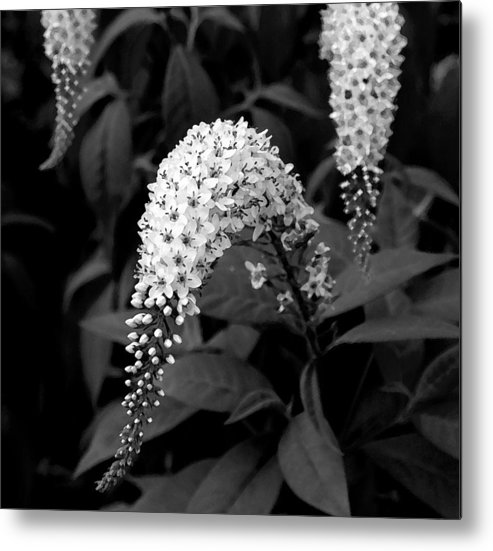 Nature Metal Print featuring the photograph Gooseneck Loosestrife by Michael Friedman
