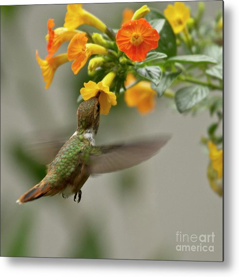 Bird Metal Print featuring the photograph Hummingbird Sips Nectar by Heiko Koehrer-Wagner