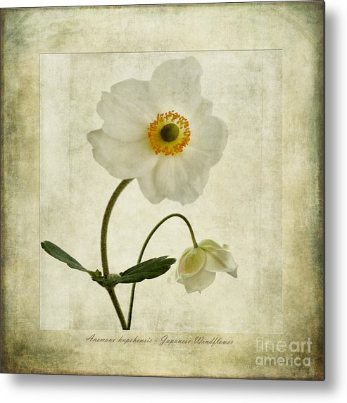 Japanese Windflowers Metal Print featuring the photograph Windflowers by John Edwards