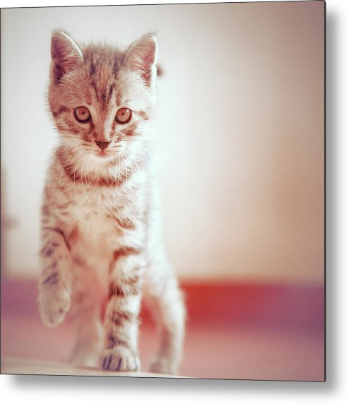Square Metal Print featuring the photograph Kitten Walking On Floor by Alberto Cassani