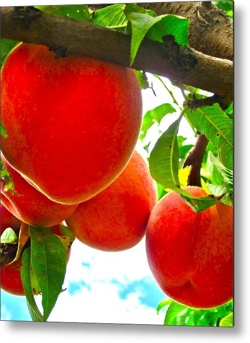 Photograph Of Peaches Metal Print featuring the photograph Ready To Pick by Gwyn Newcombe