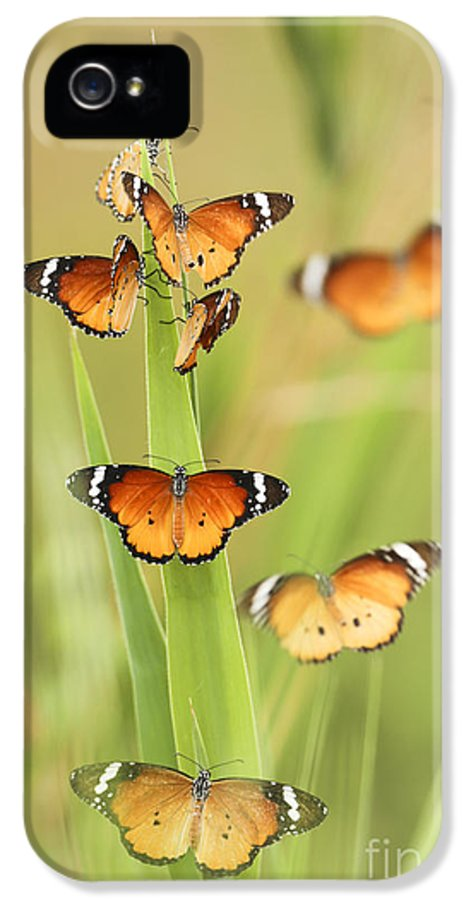 Plain Tiger IPhone 5 / 5s Case featuring the photograph Flock Of Plain Tiger Danaus Chrysippus by Alon Meir