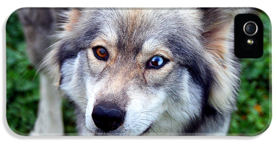 Dog IPhone 5 / 5s Case featuring the photograph Miley The Husky With Blue And Brown Eyes by Doc Braham