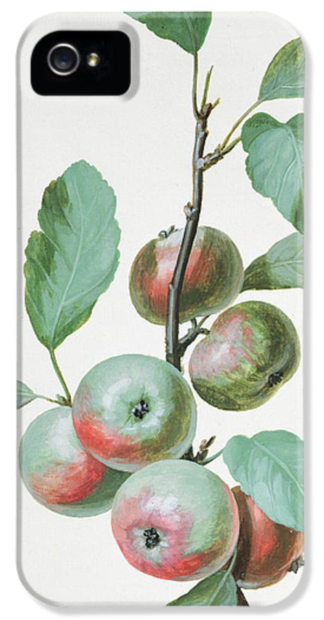 Apple IPhone 5 / 5s Case featuring the painting Apples by Pierre Joseph Redoute