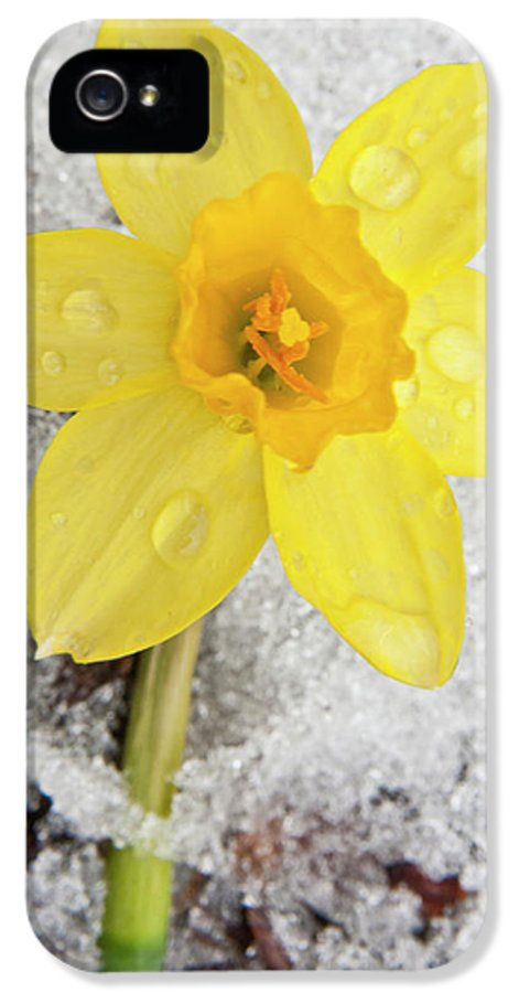 3scape Photos IPhone 5 / 5s Case featuring the photograph Daffodil In Spring Snow by Adam Romanowicz