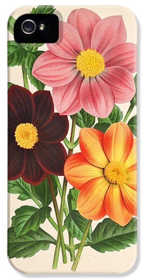 Belgian IPhone 5 / 5s Case featuring the painting Dahlia Coccinea From A Begian Book Of Flora. by Philip Ralley