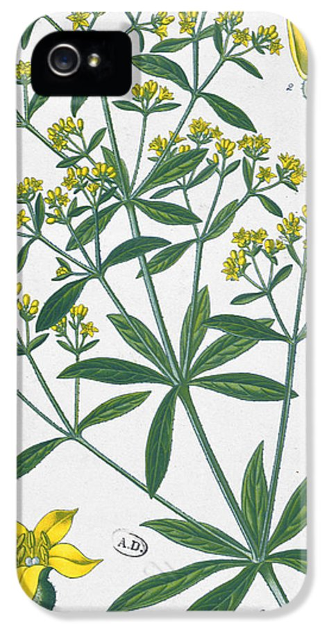 Plant IPhone 5 / 5s Case featuring the painting Dyers Madder by French School