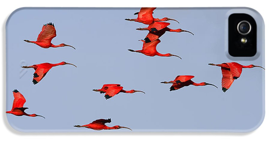 Scarlet Ibis IPhone 5 / 5s Case featuring the photograph Frankly Scarlet by Tony Beck