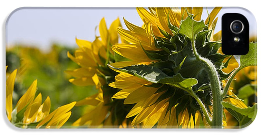 French Sunflower IPhone 5 / 5s Case featuring the photograph French Sunflowers by Georgia Fowler