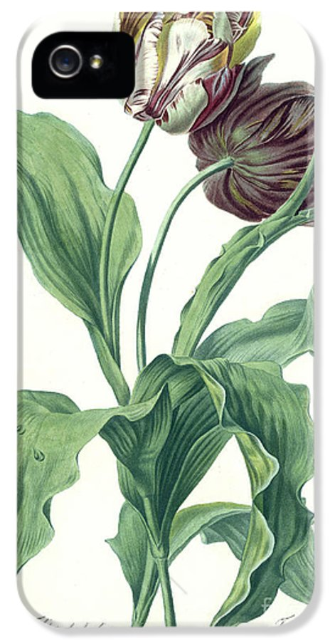 Tulipa Gesneriana IPhone 5 / 5s Case featuring the painting Garden Tulip by Gerard van Spaendonck