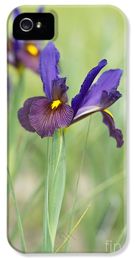 Dutch Iris IPhone 5 / 5s Case featuring the photograph Iris Hollandica 'eye Of The Tiger' by Tim Gainey
