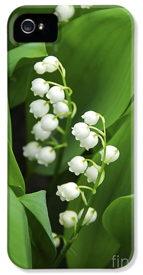 Lily IPhone 5 / 5s Case featuring the photograph Lily-of-the-valley by Elena Elisseeva