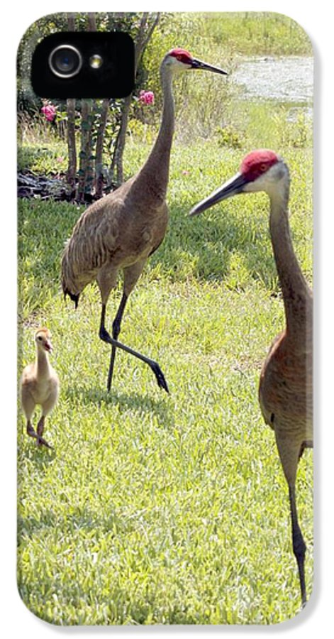Sandhill Crane IPhone 5 / 5s Case featuring the photograph Looking For A Handout by Carol Groenen