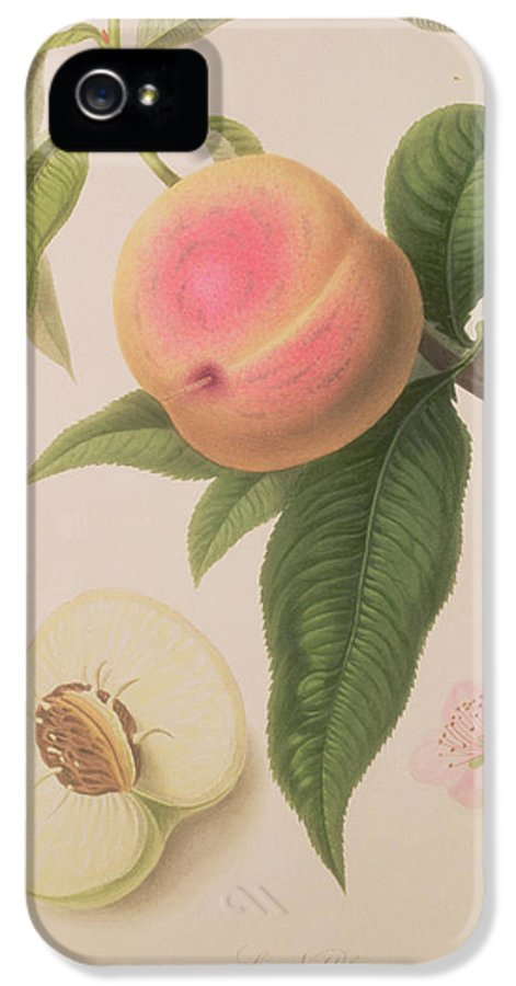 Fruit IPhone 5 / 5s Case featuring the painting Noblesse Peach by William Hooker