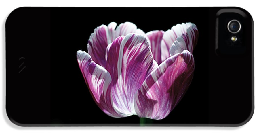 Tulip IPhone 5 / 5s Case featuring the photograph Purple And White Marbled Tulip by Rona Black