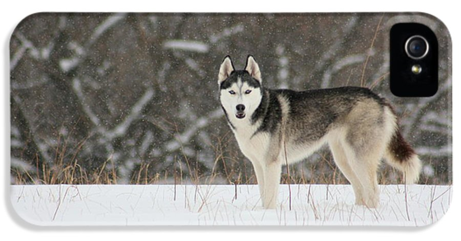 Landscape IPhone 5 / 5s Case featuring the photograph Siberian Husky 20 by David Dunham