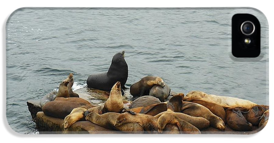 The Sea Lion And His Harem IPhone 5 / 5s Case featuring the photograph The Sea Lion And His Harem by Mary Machare