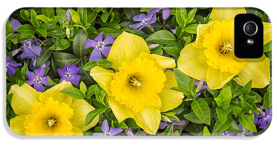 3scape Photos IPhone 5 / 5s Case featuring the photograph Three Daffodils In Blooming Periwinkle by Adam Romanowicz