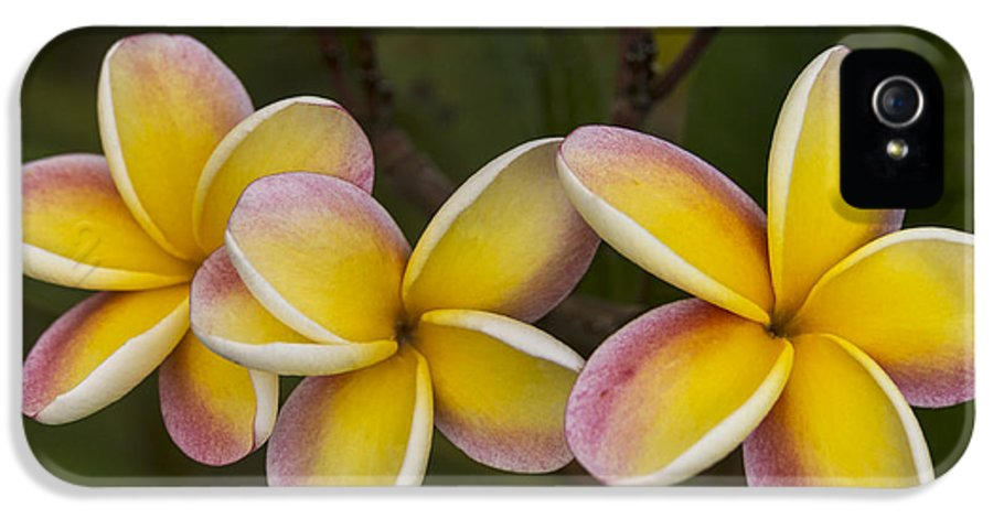 Still Life IPhone 5 / 5s Case featuring the photograph Three Pink And Yellow Plumeria Flowers - Hawaii by Brian Harig