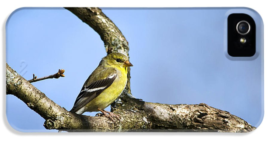 Bird IPhone 5 / 5s Case featuring the photograph Wild Birds - American Goldfinch by Christina Rollo