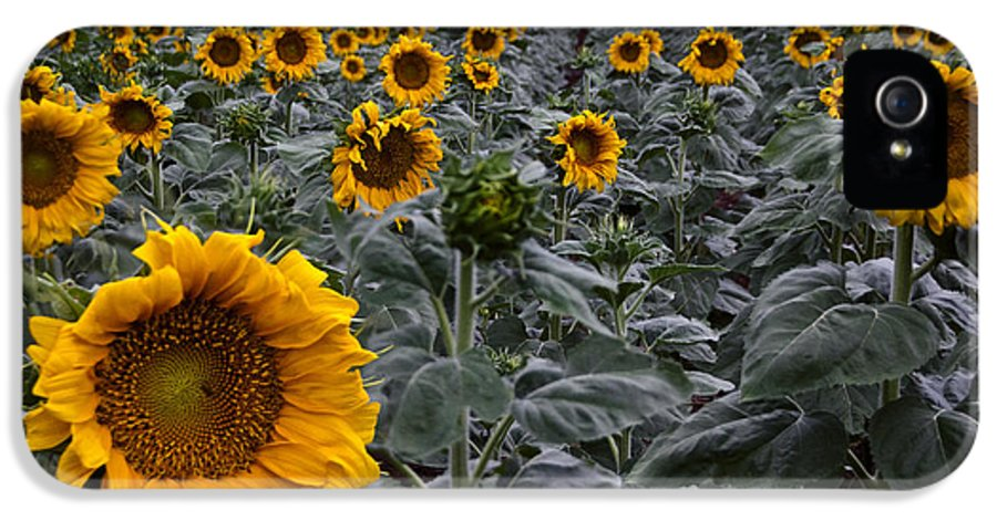 Yellow IPhone 5 / 5s Case featuring the photograph Yellow Sunflower Field by Dave Dilli