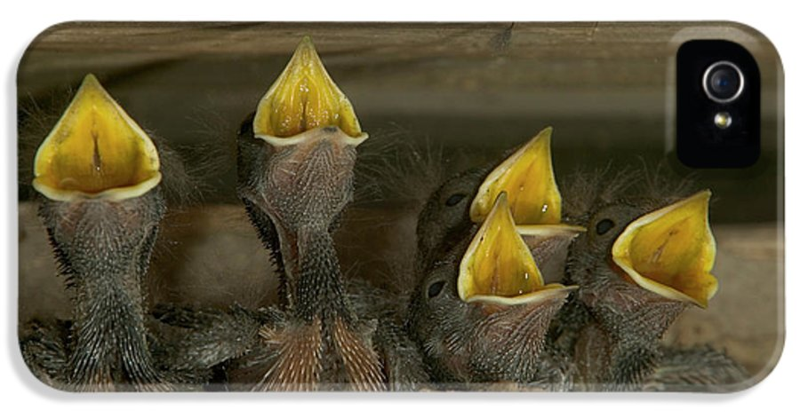 Mp IPhone 5 / 5s Case featuring the photograph Barn Swallow Hirundo Rustica Chicks by Cyril Ruoso