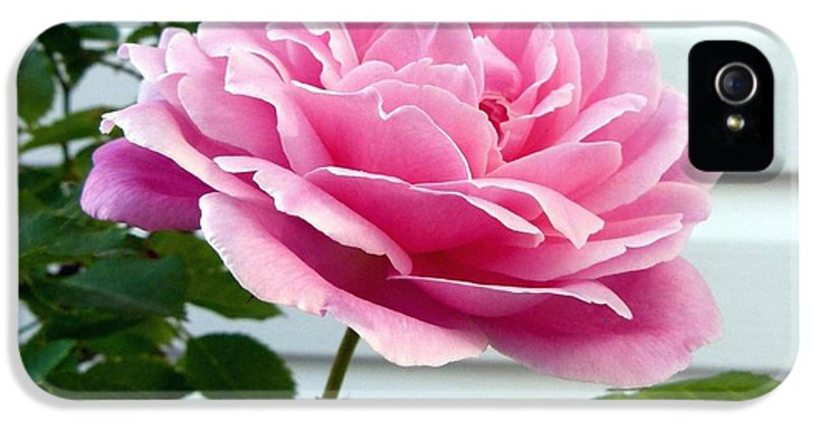 Royal Kate Rose IPhone 5 / 5s Case featuring the photograph Royal Kate Rose by Will Borden