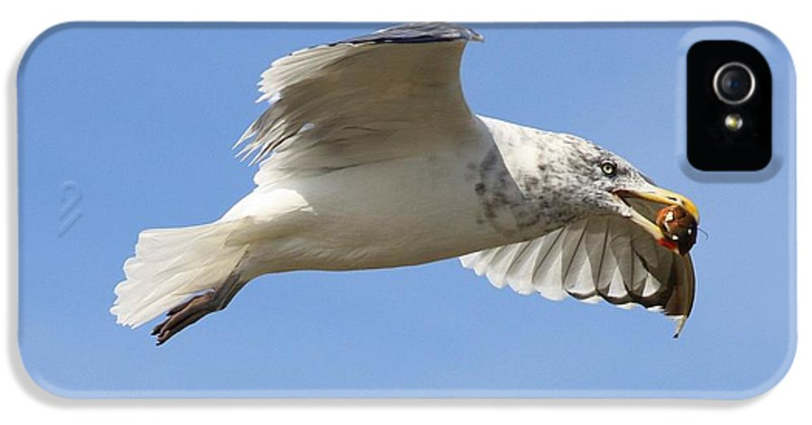 Seagull IPhone 5 / 5s Case featuring the photograph Seagull With Snail by Carol Groenen