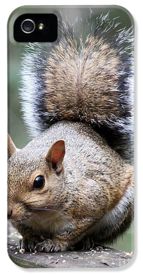 Squirrel IPhone 5 / 5s Case featuring the photograph Squirrel by Carol Groenen