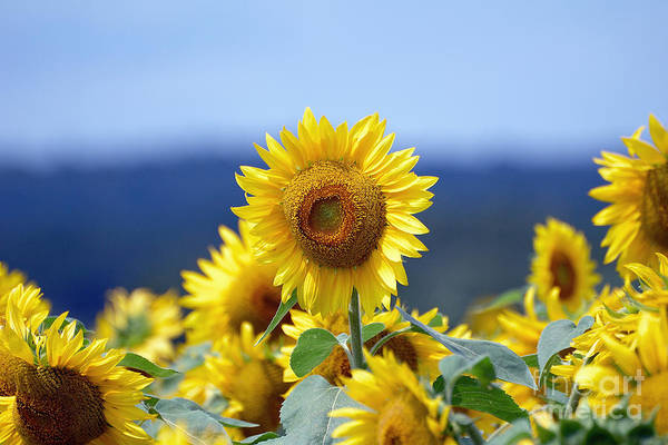Sunflower Poster featuring the photograph Summer Gold by Edward Sobuta