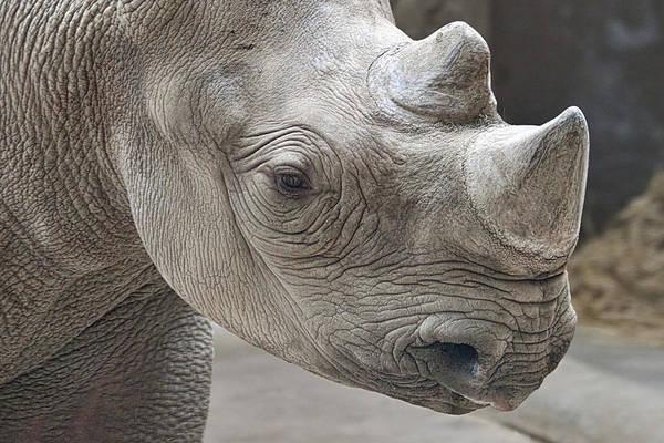 Rhinoceros Poster featuring the photograph Rhinoceros by Tom Mc Nemar