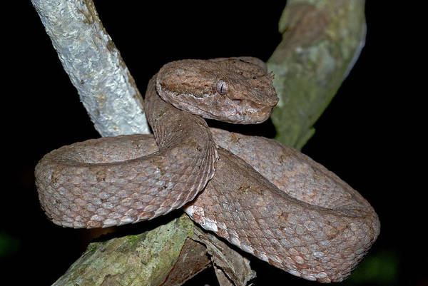 Eyelash Pit Viper Poster featuring the photograph Eyelash Pit Viper by JP Lawrence