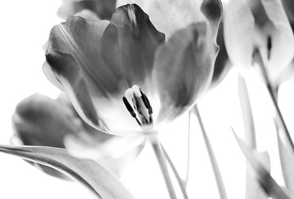 Tulip Poster featuring the photograph Tulips by Silke Magino