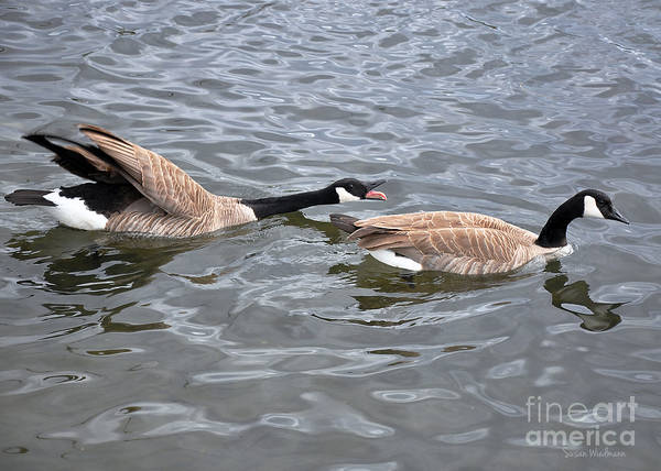 Susan Wiedmann Poster featuring the photograph Bossy Canada Goose by Susan Wiedmann